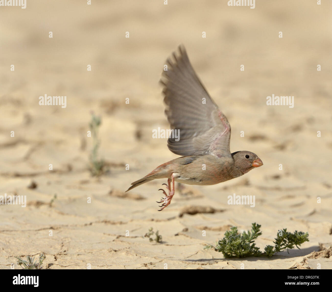 Trumpeter Finch - Bucanates githagineus - Stock Image