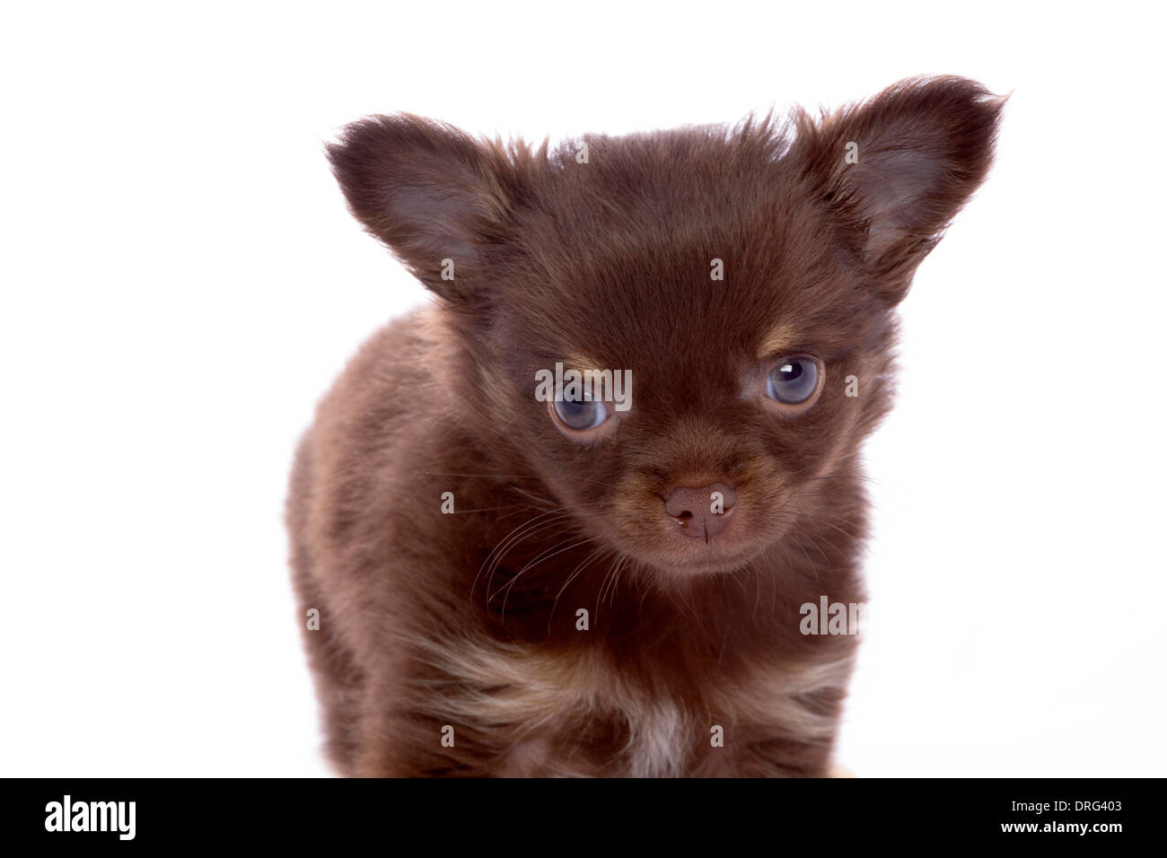chihuahua in studio isolated Stock Photo