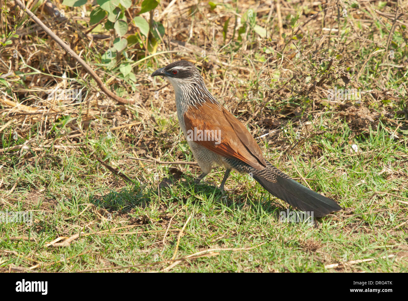 White-browed coucal (Centropus superciliosus) foraging on the ground - Stock Image