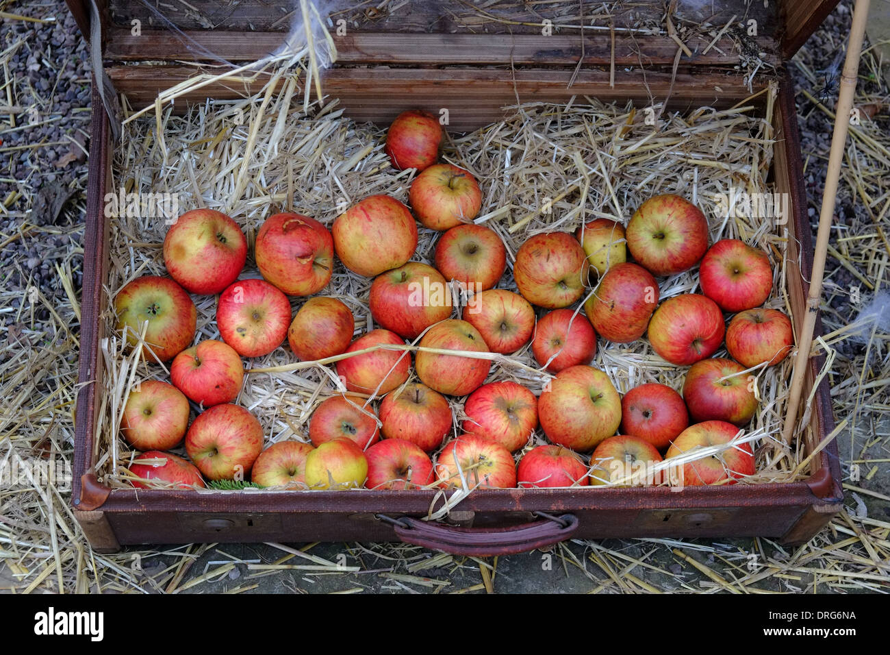 England, Cheshire, apples in an old suitcase - Stock Image