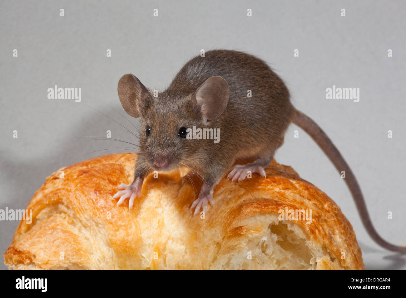 House Mouse (Mus musculus). Stock Photo
