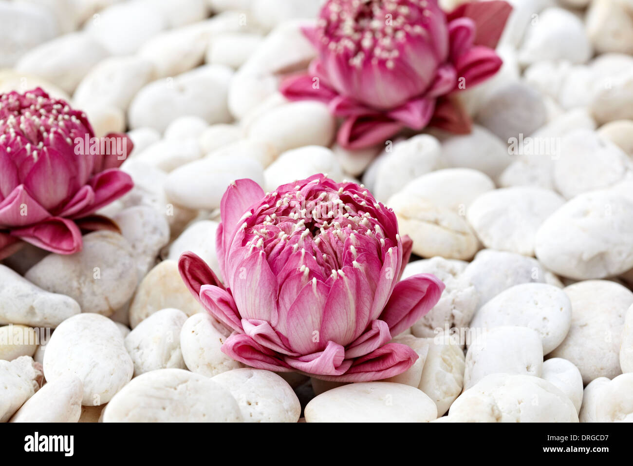 Pink lotus flowers stock photos pink lotus flowers stock images pink lotus flowers on white pebbles stock image izmirmasajfo