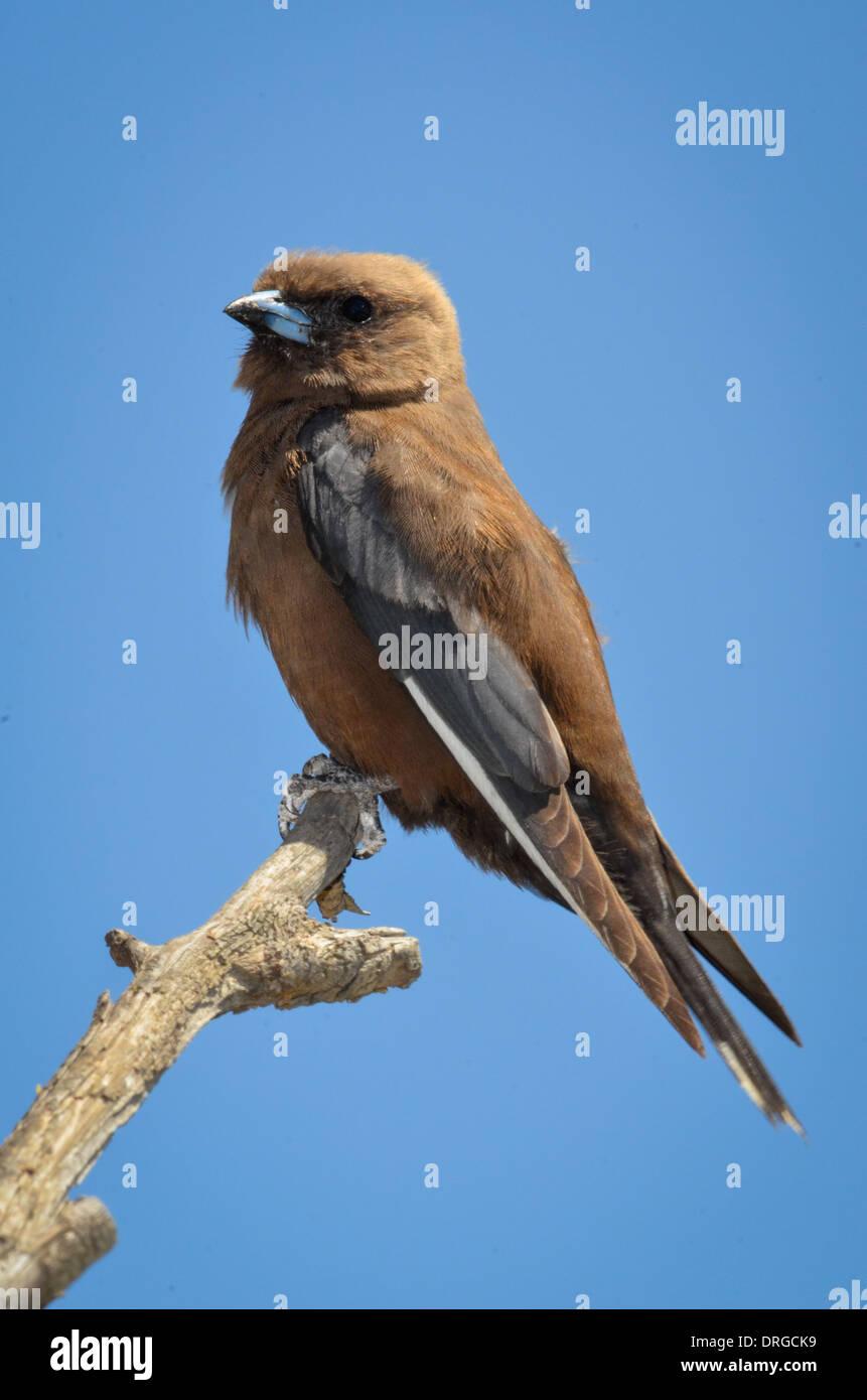 Dusky Woodswallow perched. - Stock Image