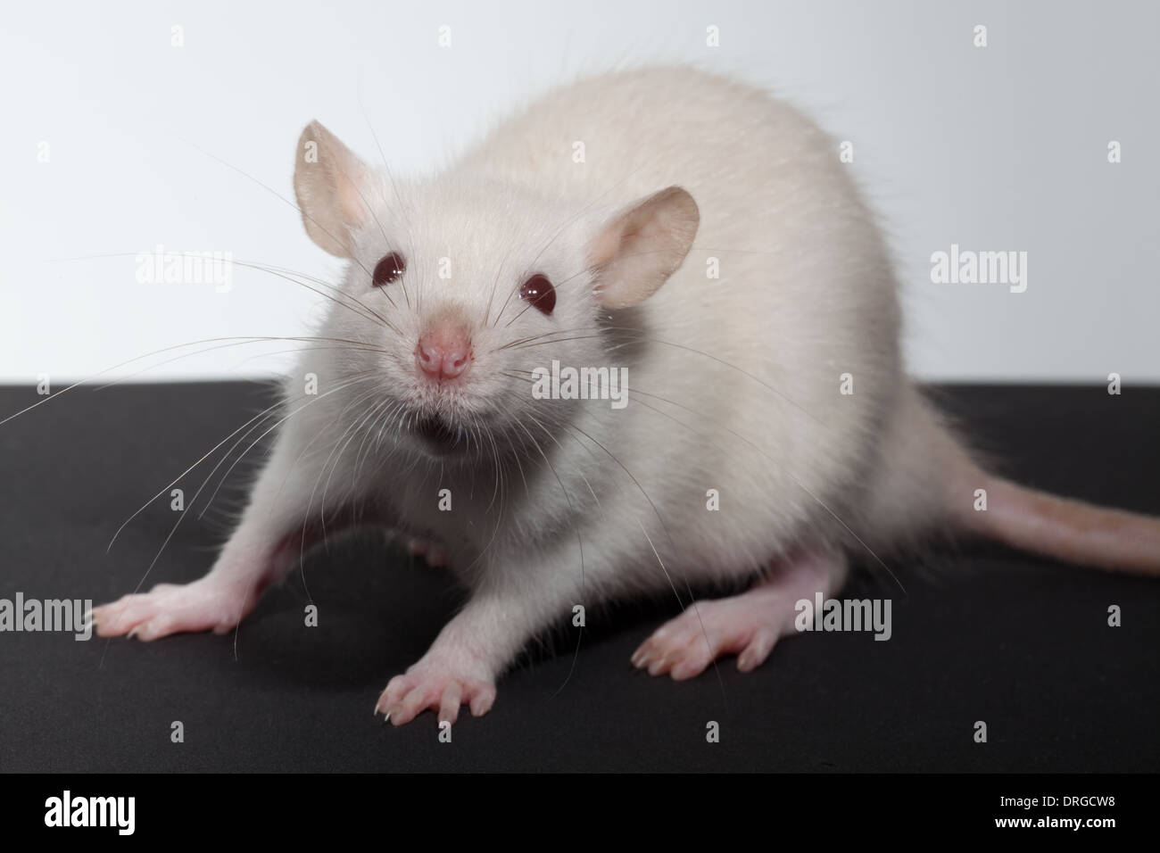 White, albino, Domestic Rat (Rattus norvegicus). Lacking melanin pigmentation, thus eyes for example appear pink or red. - Stock Image