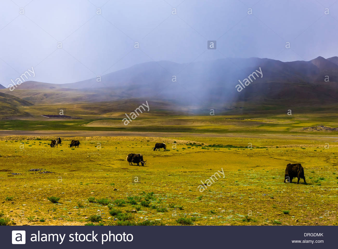 Yaks graze and rain clouds hang overhead, Shannan Prefecture, Tibet (Xizang), China. - Stock Image