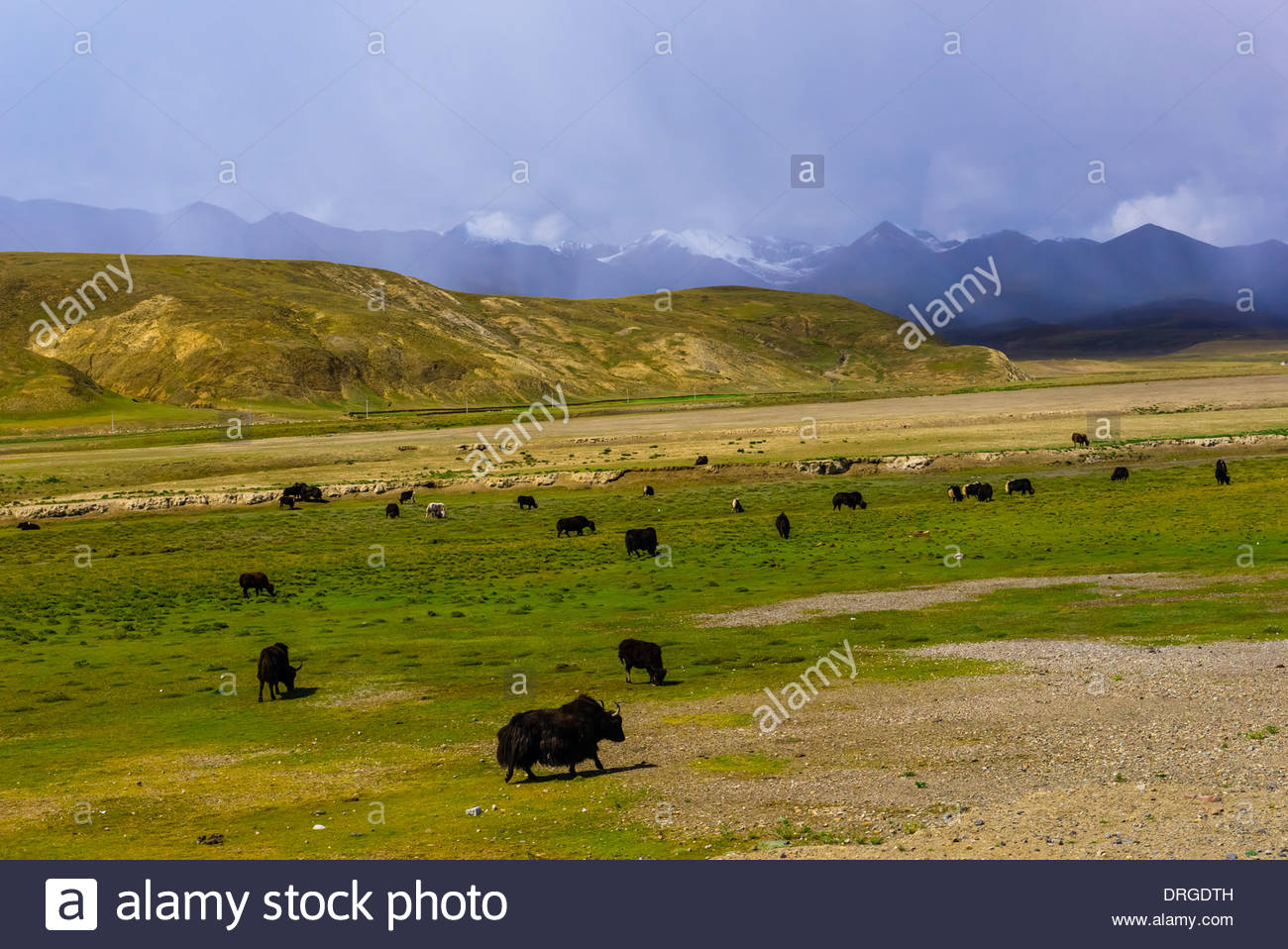 Yaks grazing, Shannon Prefecture, Tibet (Xizang), China. - Stock Image