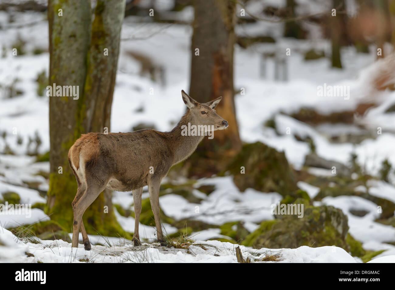 Hirschkuh Rothirsch, Cervus elaphus, female red deer Stock Photo