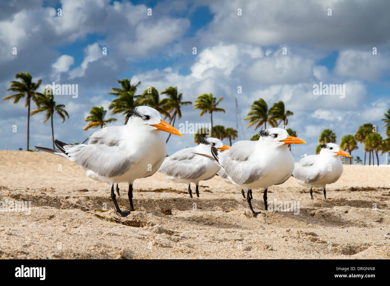 Four terns lined up on the beach, Fort Lauderdale, Florida Stock Photo