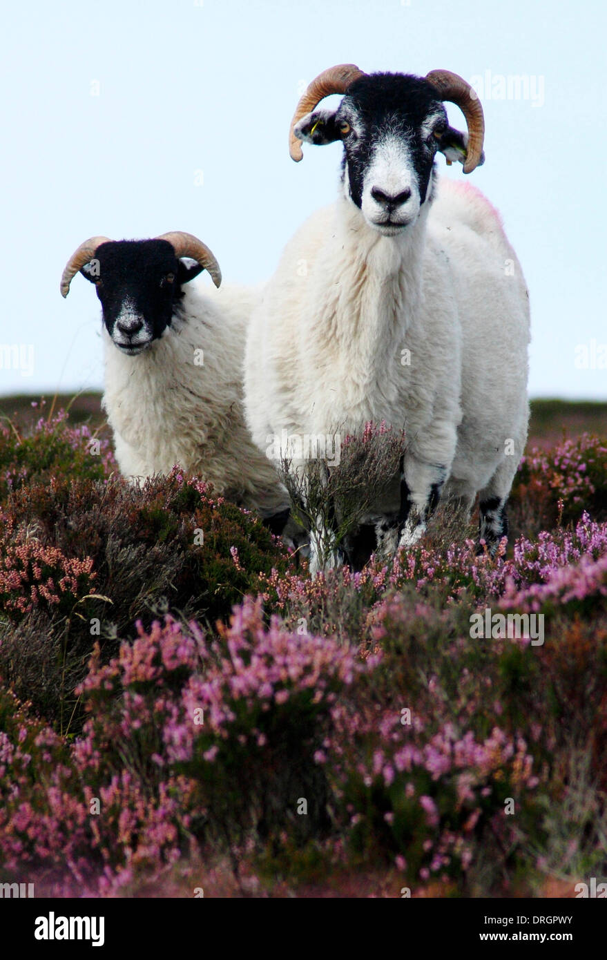 Black Faced Sheep On Flowering Heather Ling On Moorland In