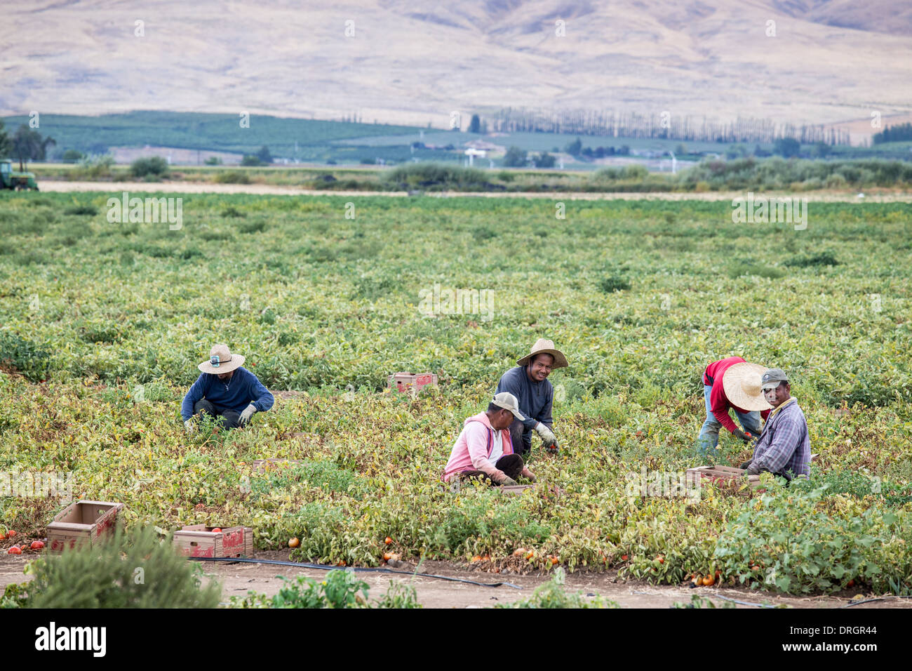 Mexican migrant workers picking tomatoes in Yakima, Washington, USA - Stock Image