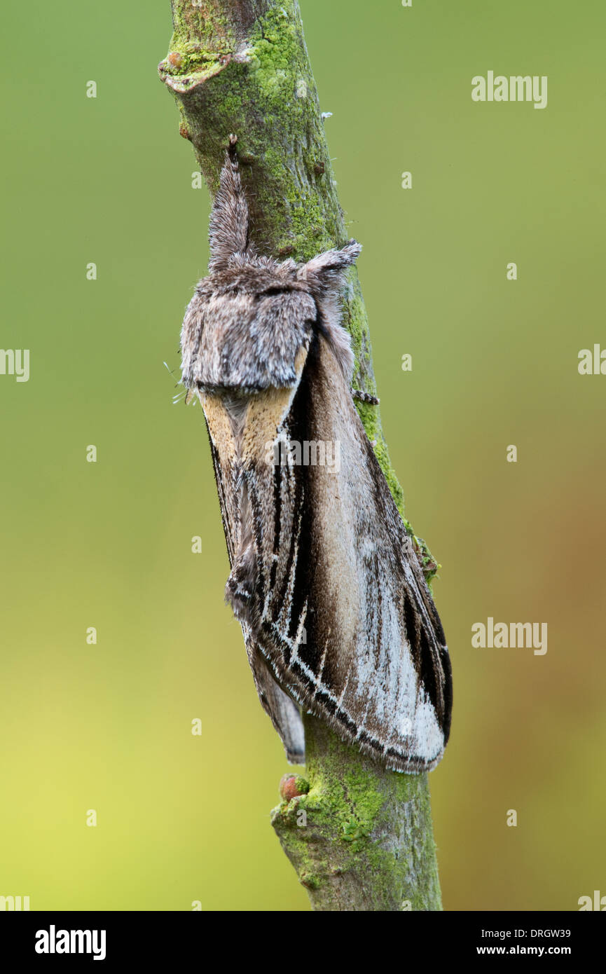 Swallow Prominent moth (Pheosia tremula) adult, resting on branch Preston Montford Shrewsbury Shropshire England - Stock Image