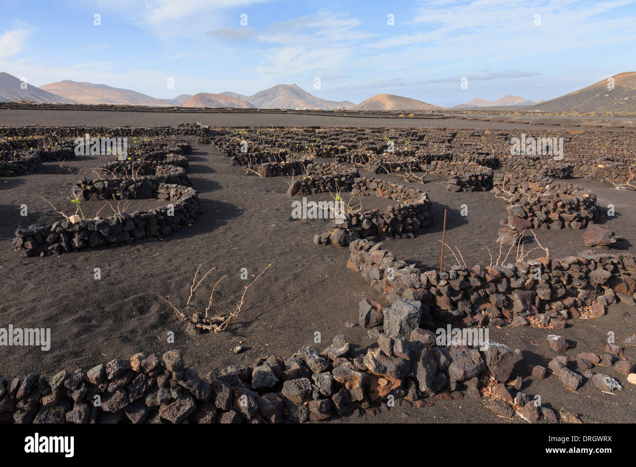 Vines growing in volcanic ash protected by pits and walls called zocos in vineyards of La Geria Lanzarote Canary - Stock Image