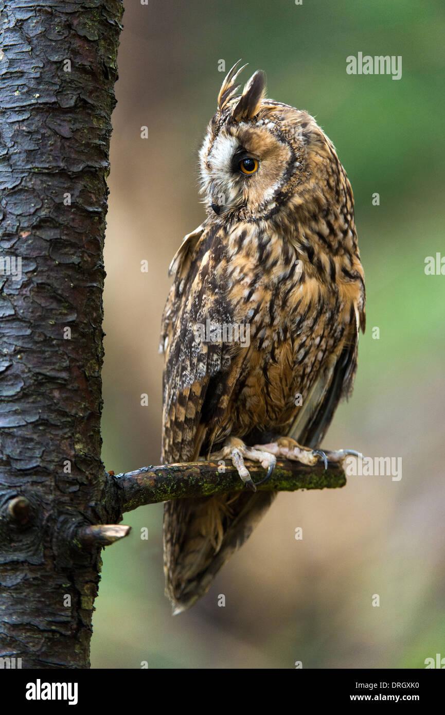 Long Eared Owl - Stock Image