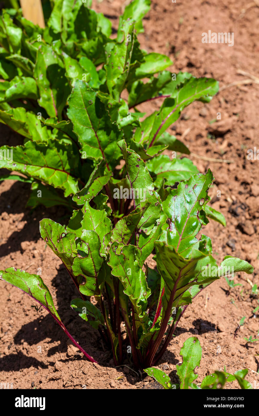 Young beet plants in the home garden or on the farm. Stock Photo