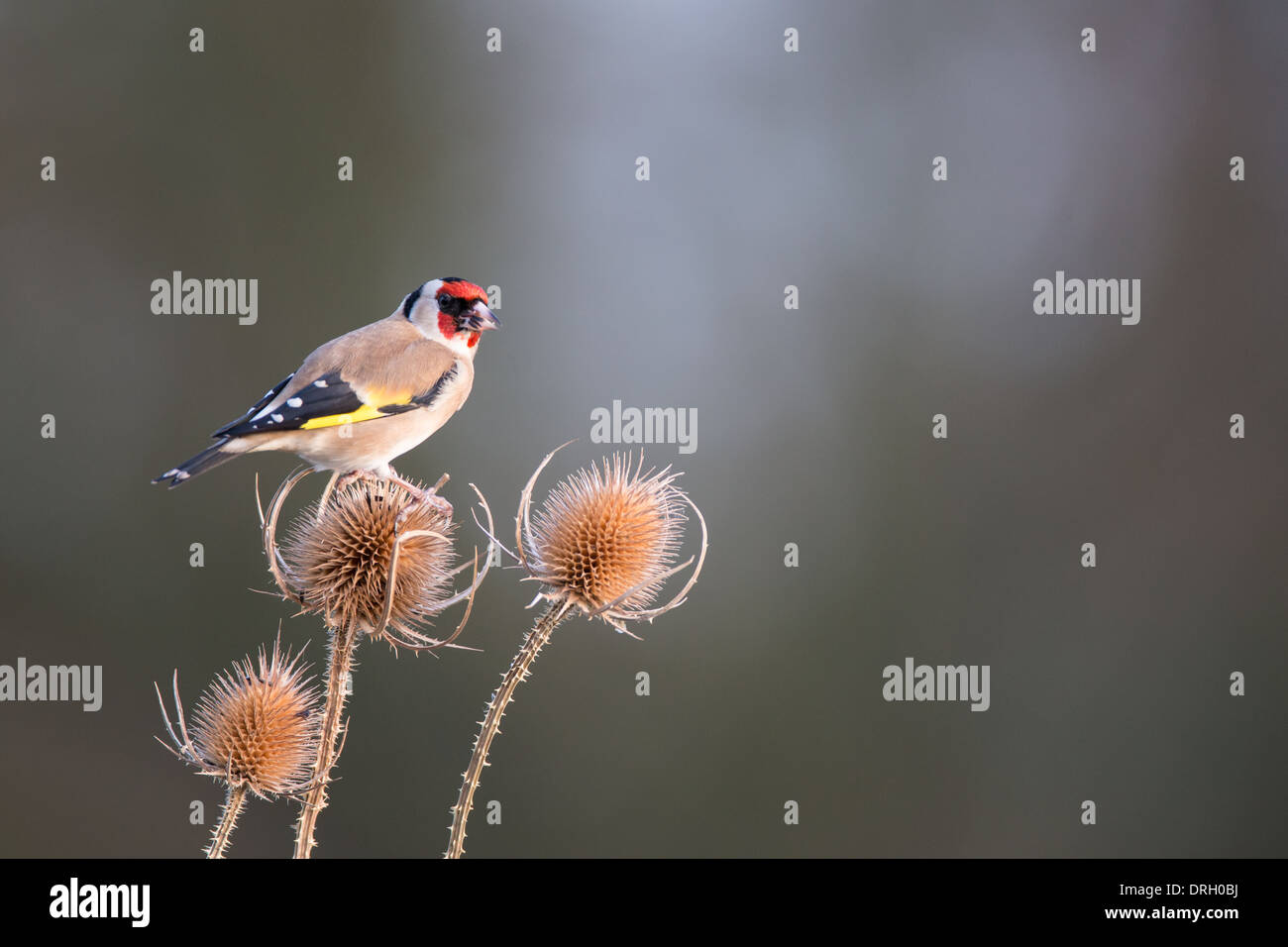 Goldfinch (Carduelis carduelis) on a teasel. - Stock Image