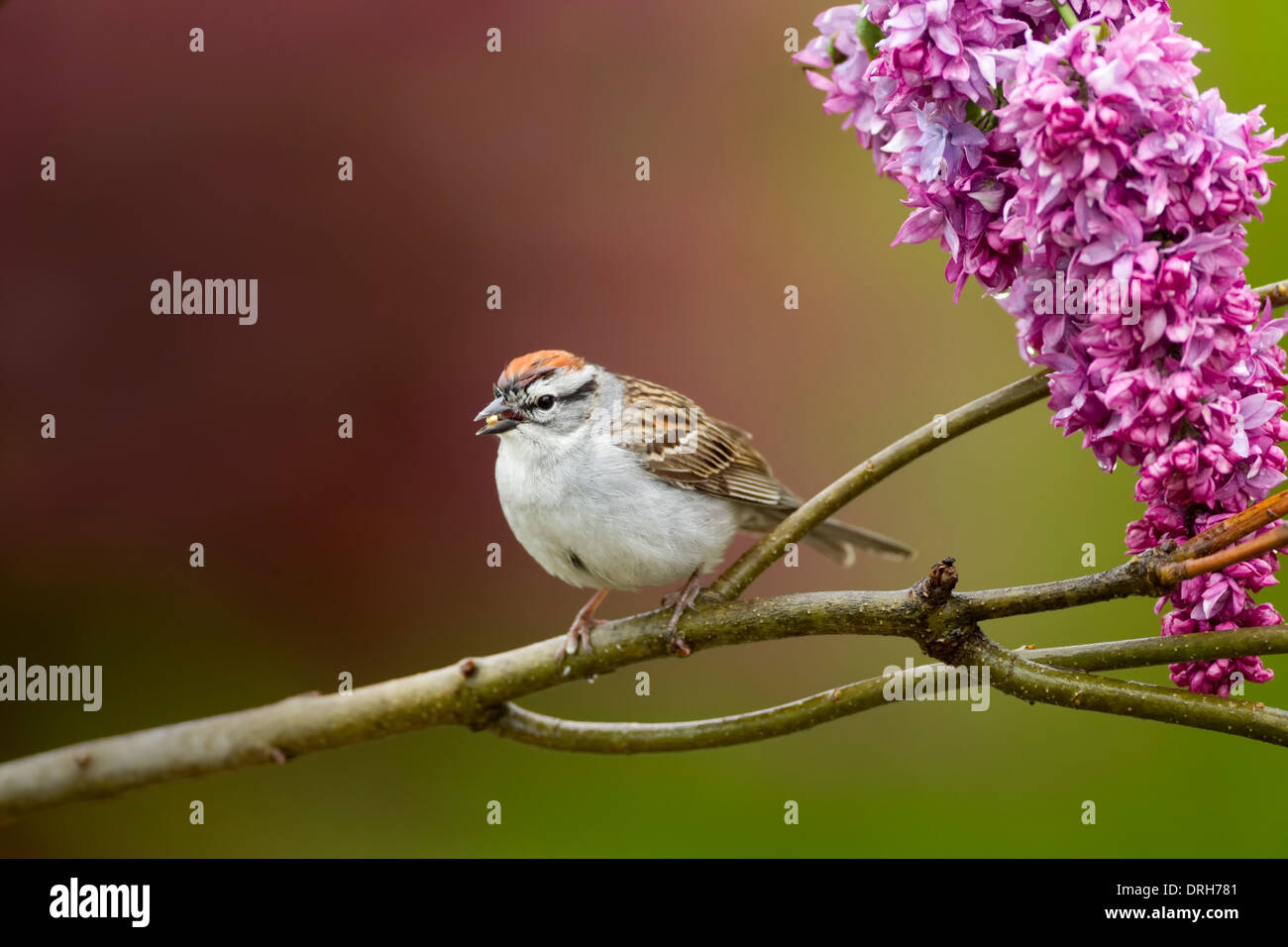 Chipping Sparrow with seed in its mouth with butterfly bush - Stock Image