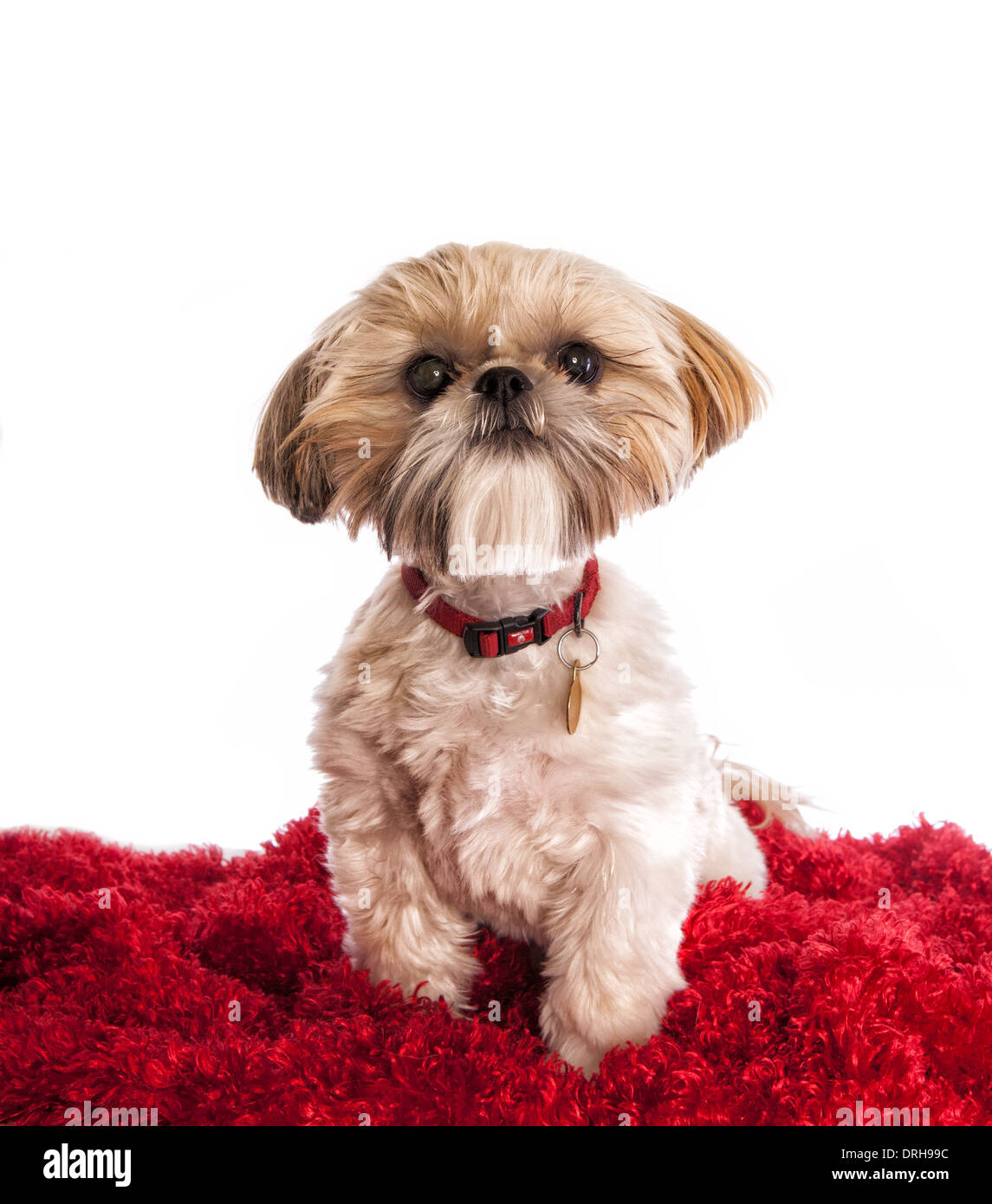 Shih Tzu Funny High Resolution Stock Photography And Images Alamy