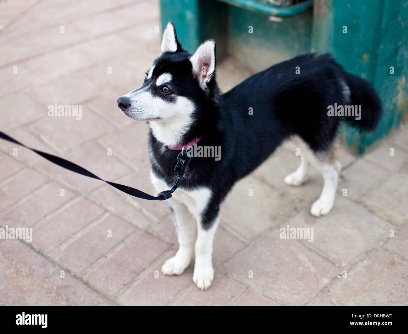 A Cute Miniature Husky Puppy Stock Photo 66150724 Alamy