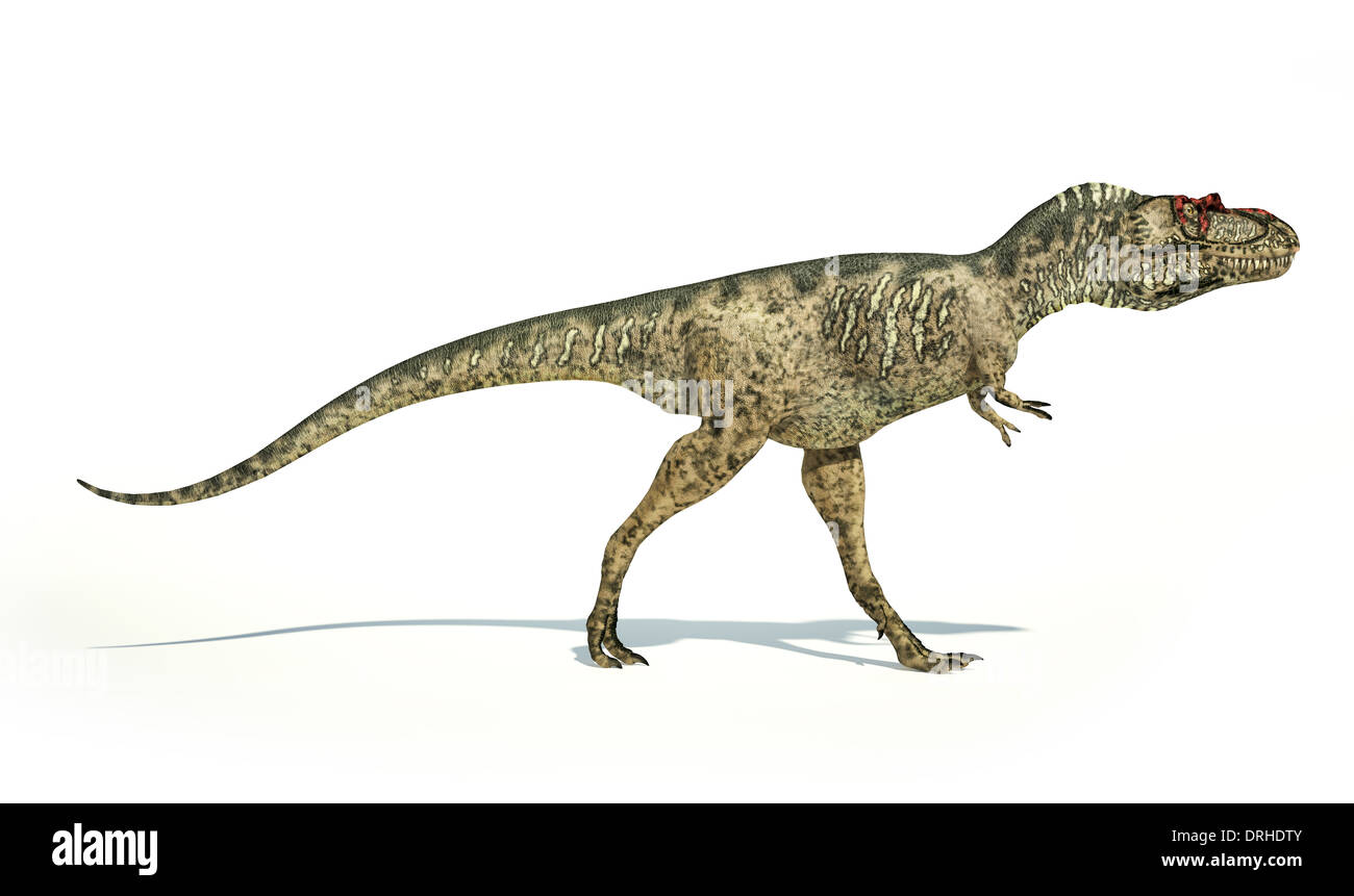 Albertosaurus Dinosaur, photo-realistic and scientifically correct representation, side view. On white background. - Stock Image