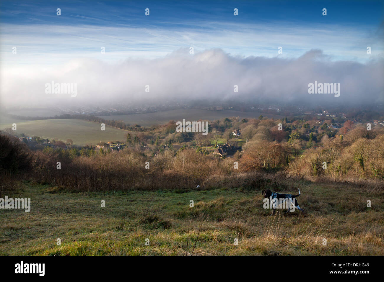 A dog walking across the hills of the Chilterns, Buckinghamshire - Stock Image