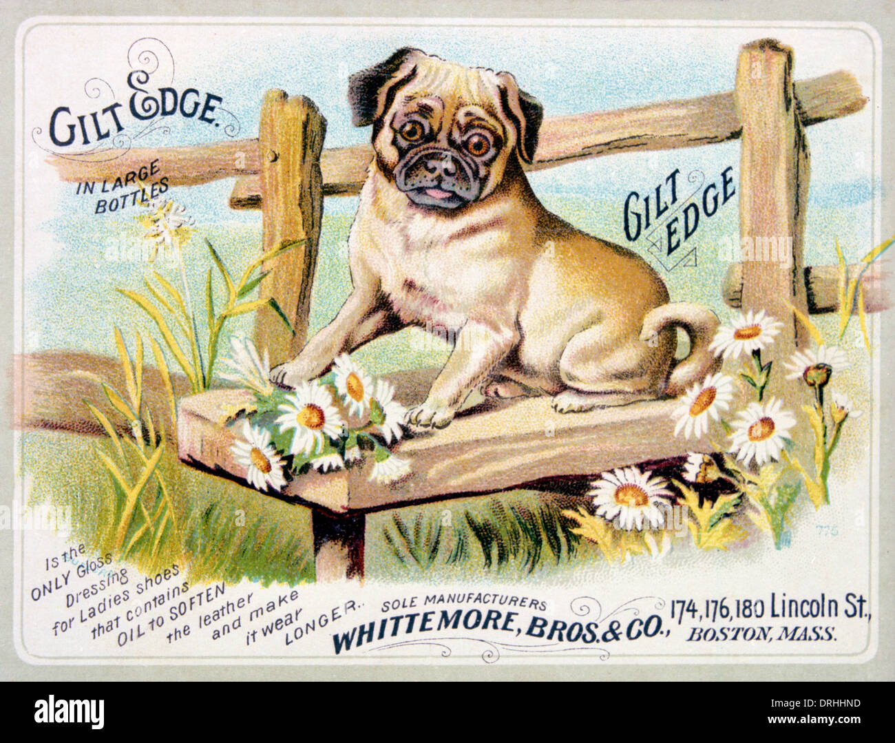 Gilt Edge pug dog Advertisement. - Stock Image