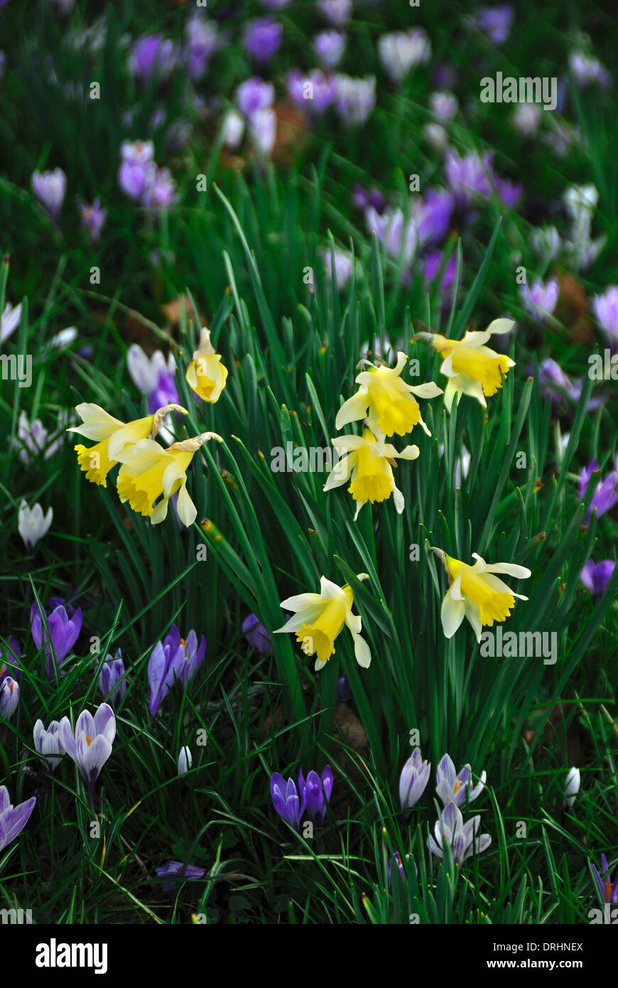 A Sea Of Early Spring Flowers Crocus And Daffodils Uk Stock Photo