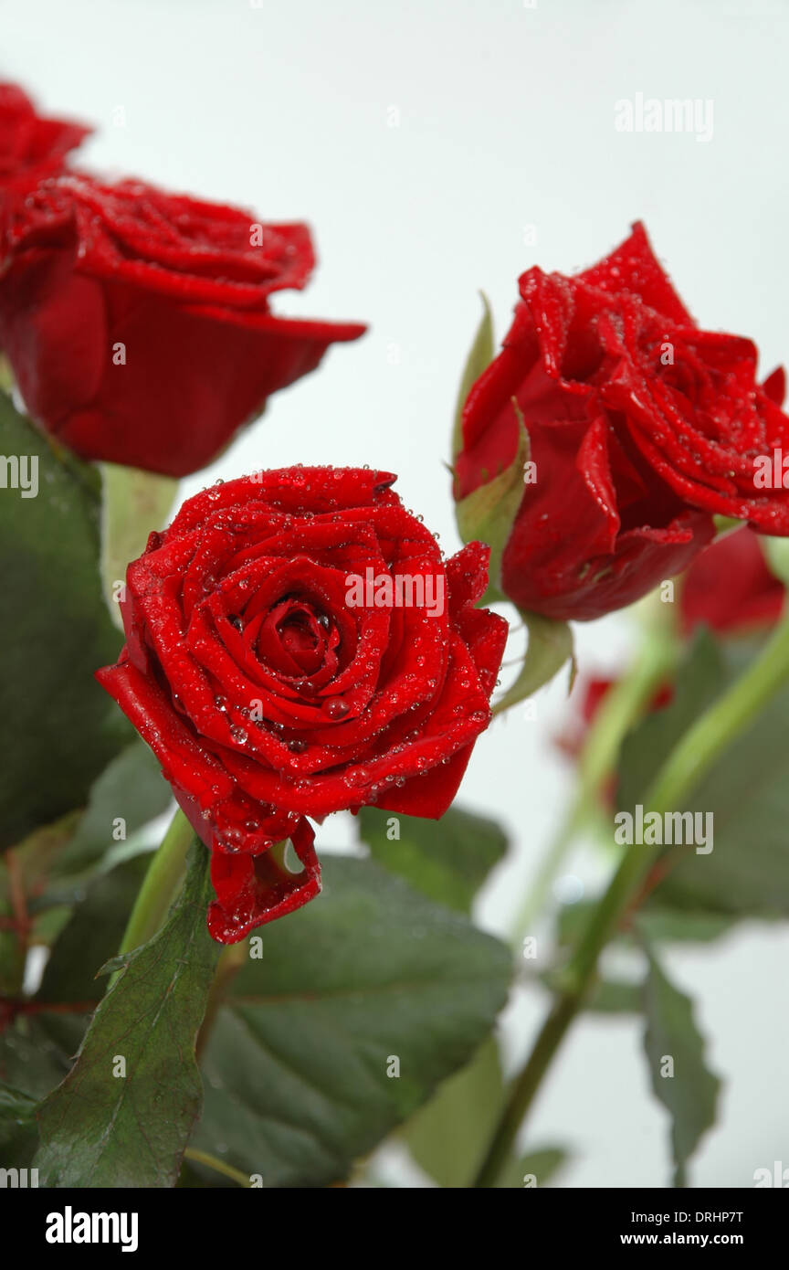 Bouquet of red rose. You can see water drops on the leafs Stock Photo