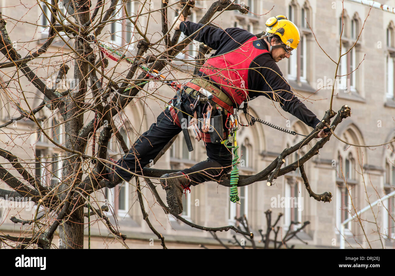 climbing tree surgeon pruning a lime tree strasbourg alsace france stock image
