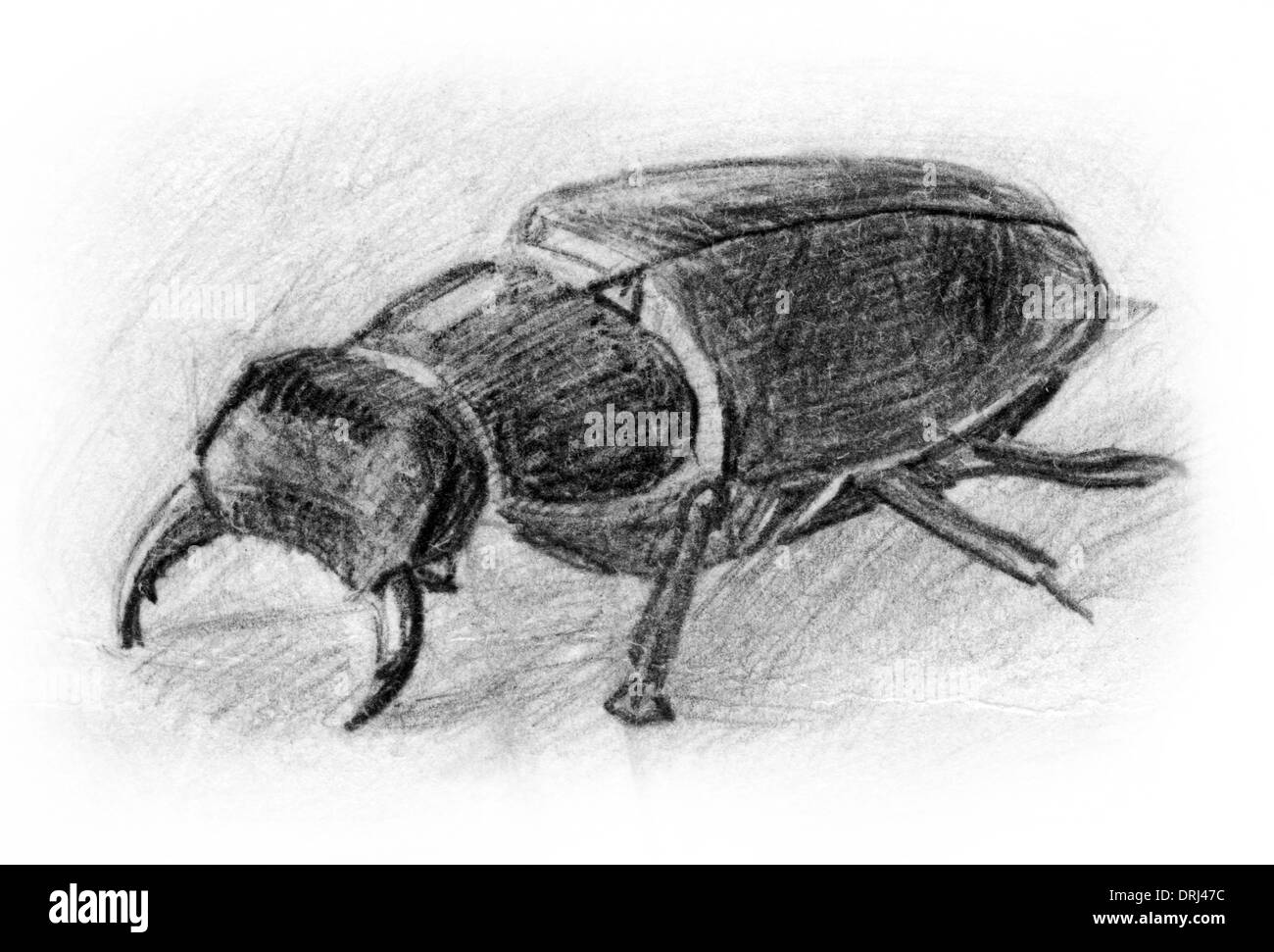 Insects illustrations animals image images beetle beetles