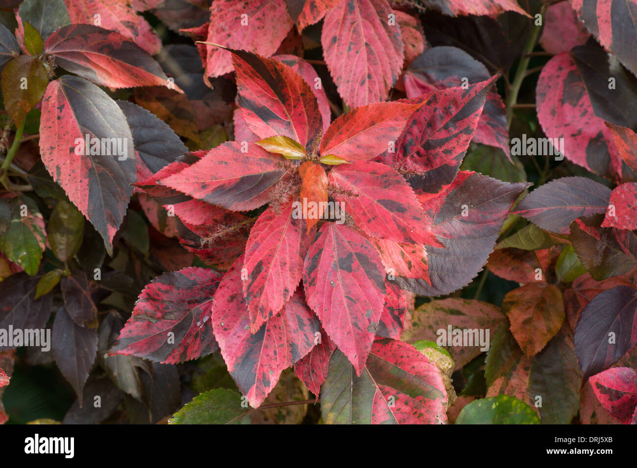 Closeup Of Red Leaves Of Copperleaf Acalypha Wilkesiana Plant Stock