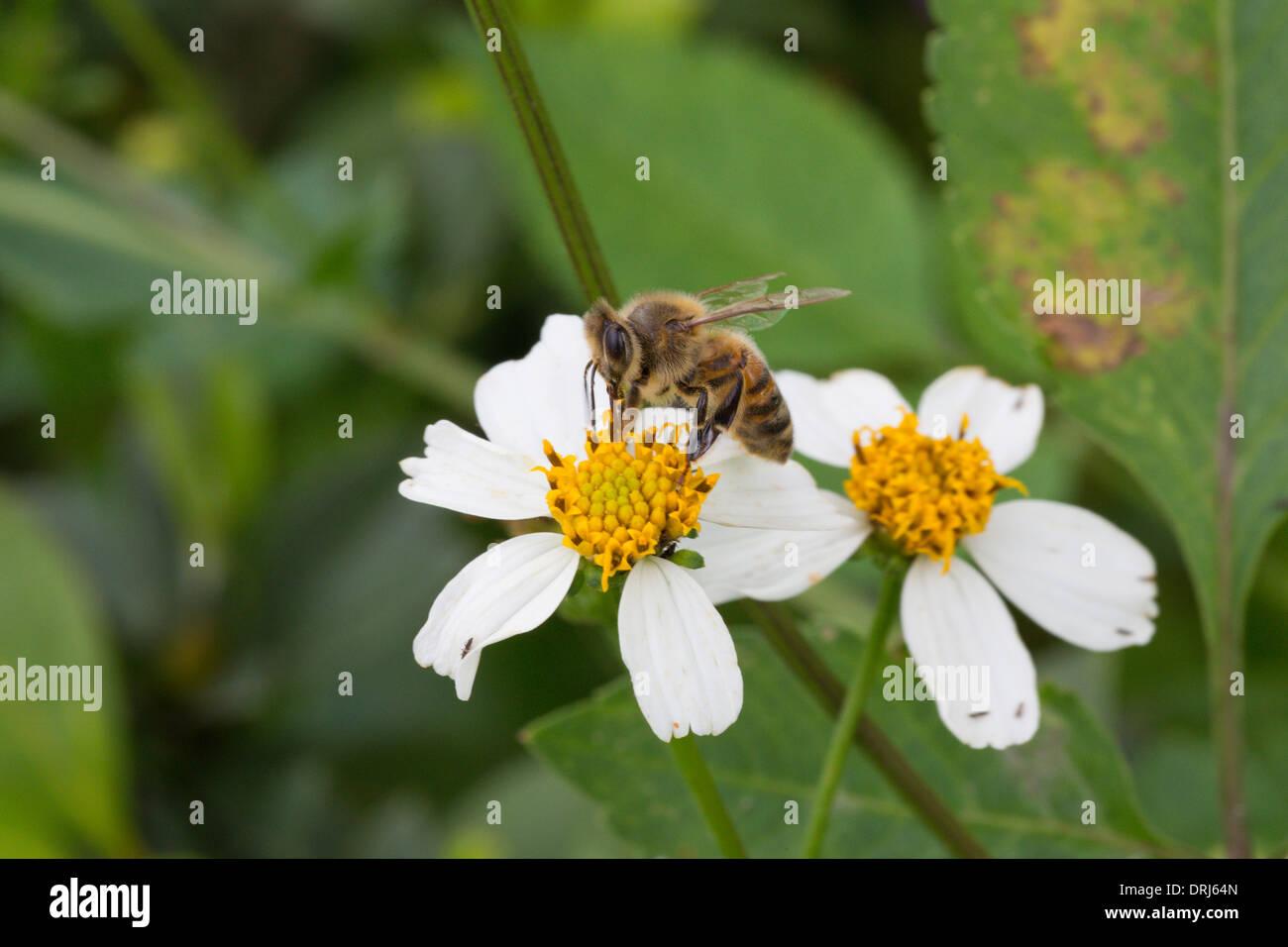 Closeup of honeybee pollinating white flower - Stock Image