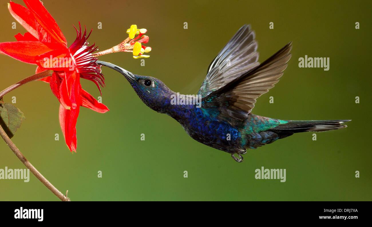 Violet Sabrewing hummingbird Stock Photo