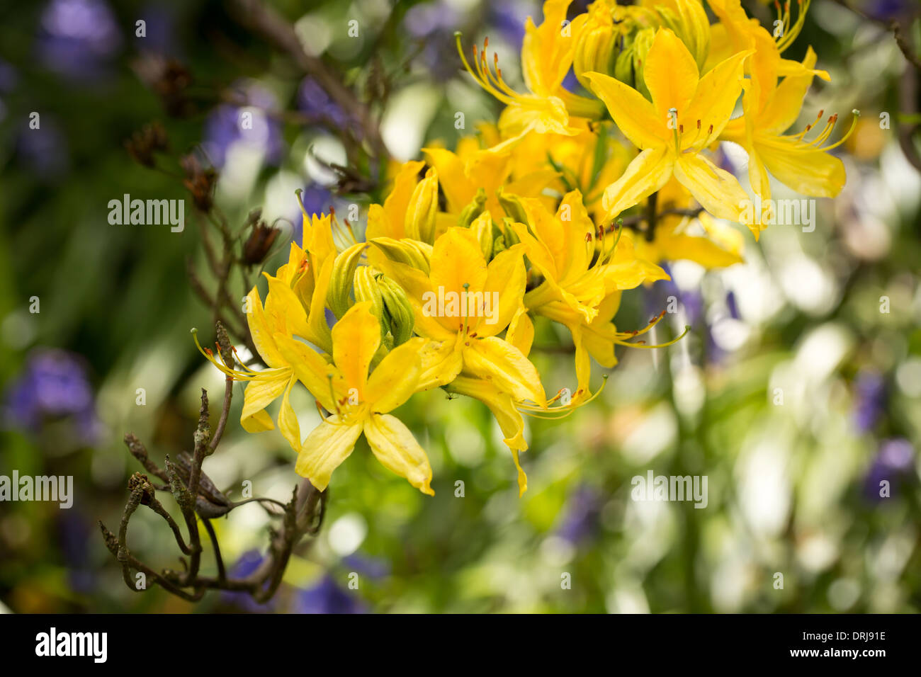 Yellow azalea flowers, rhododendron luteum Stock Photo