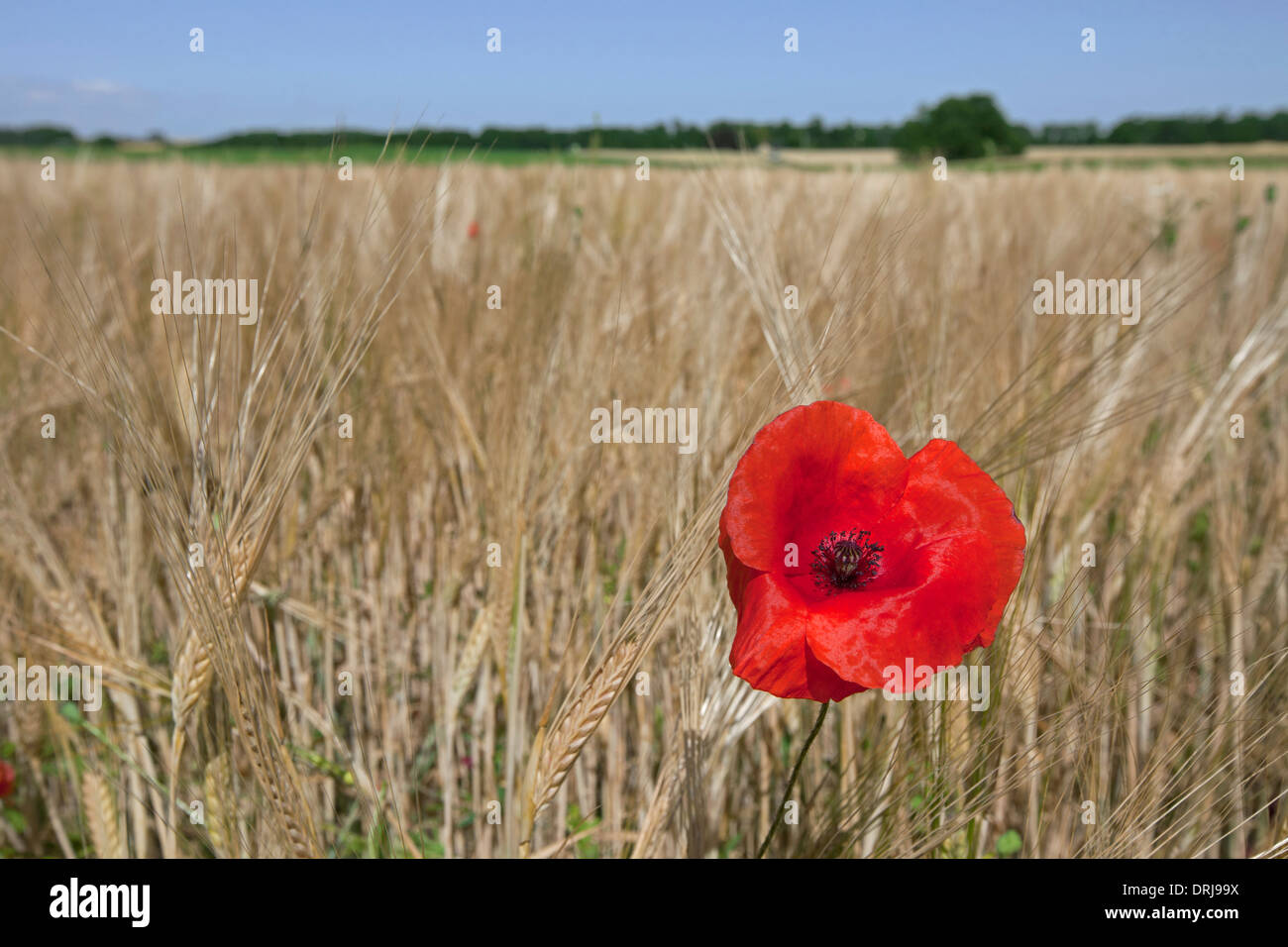 Rural landscape showing red common poppy / field poppies (Papaver rhoeas) flowering in cornfield on farmland in summer - Stock Image