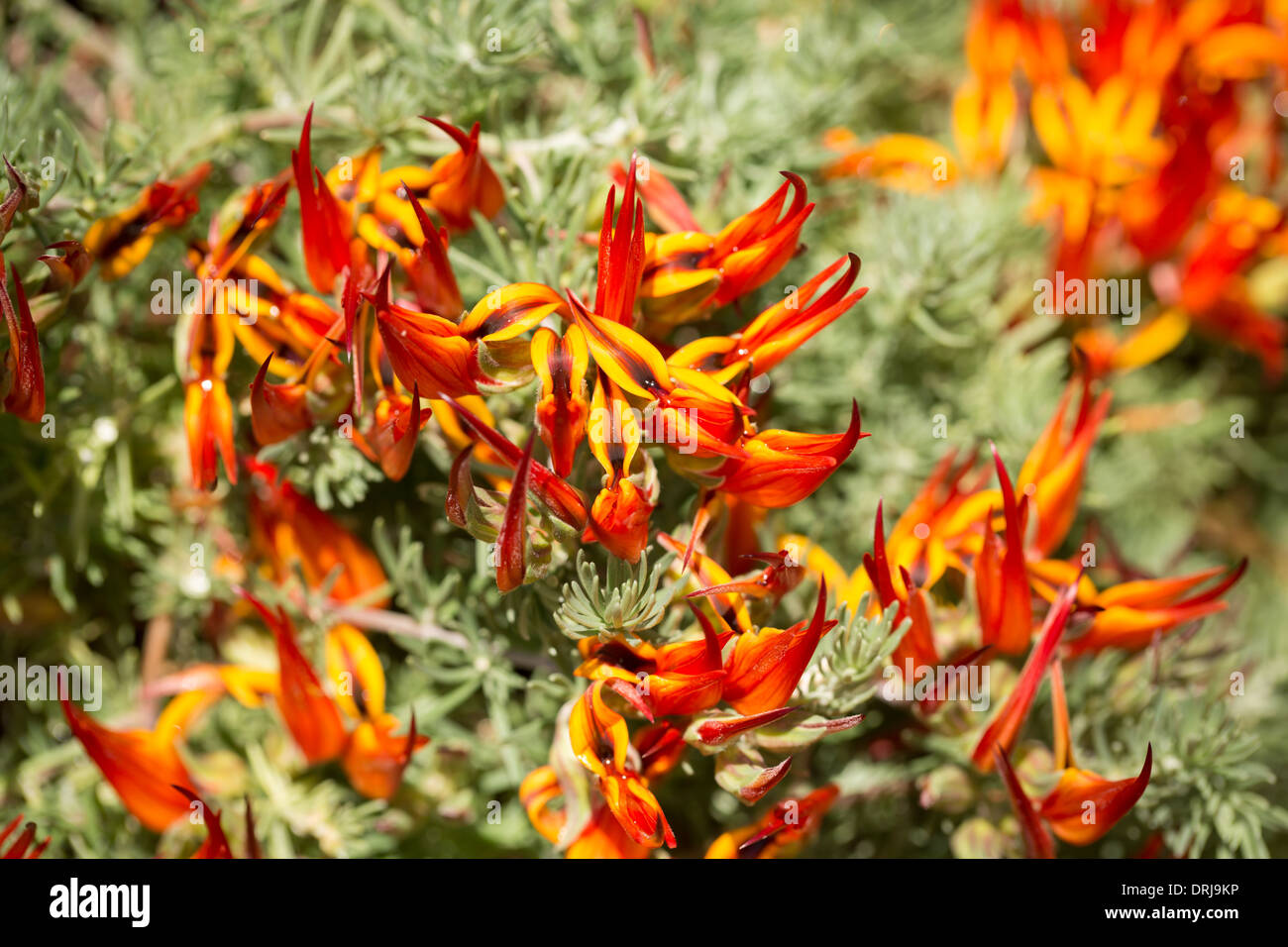 Lotus berthelotii stock photos lotus berthelotii stock images alamy red and orange lotus flowers lotus berthelotii stock image izmirmasajfo