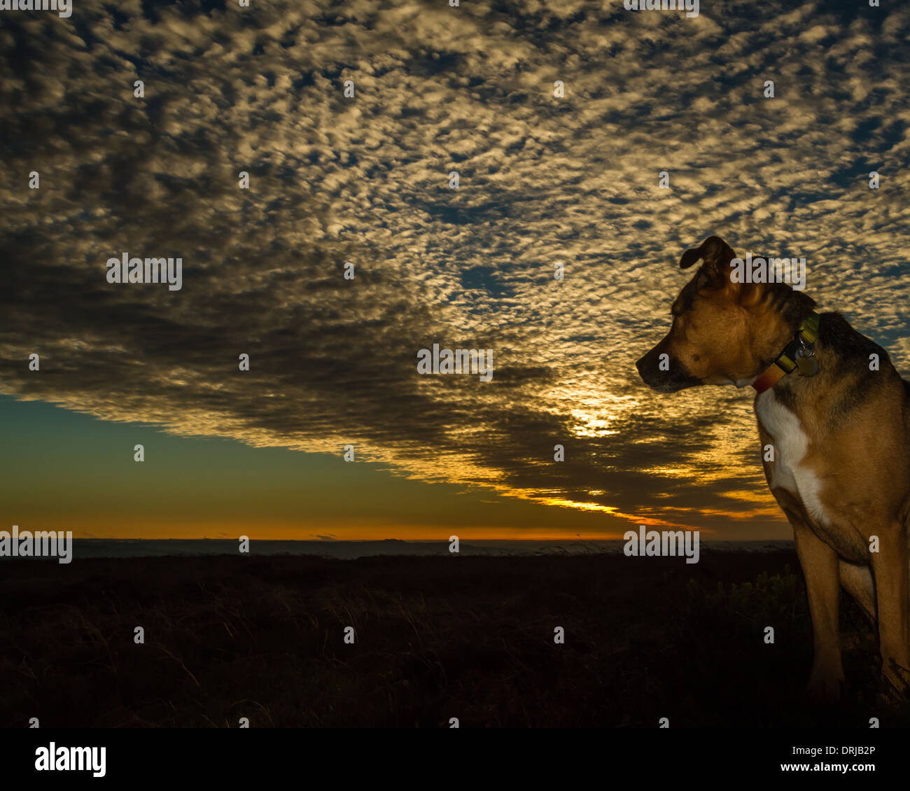 Dog enjoying the sunset on the moors, Yorkshire, UK - Stock Image