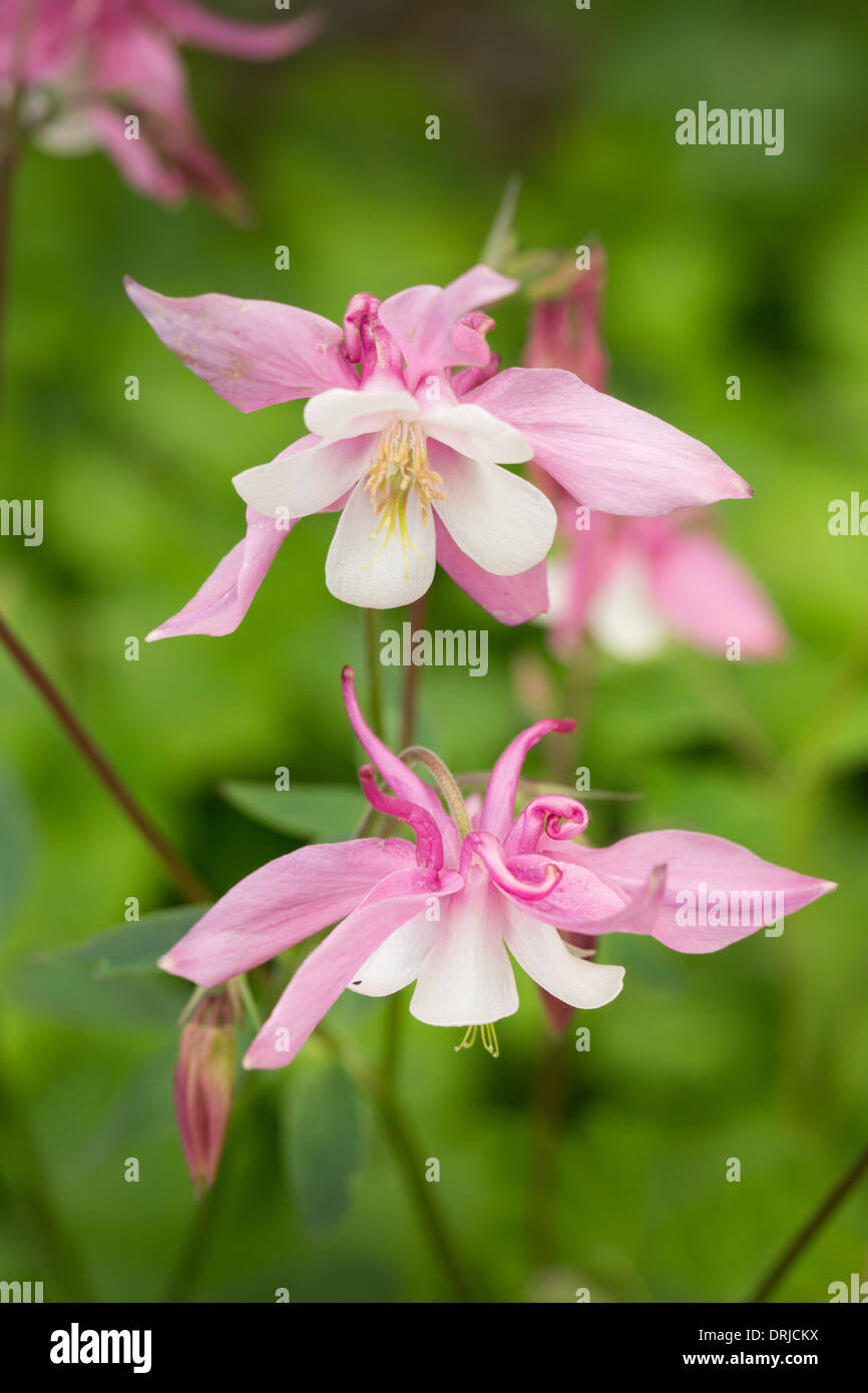 Pink Aquilegia Flowers Long Spurred Hybrids Stock Photo 66173294