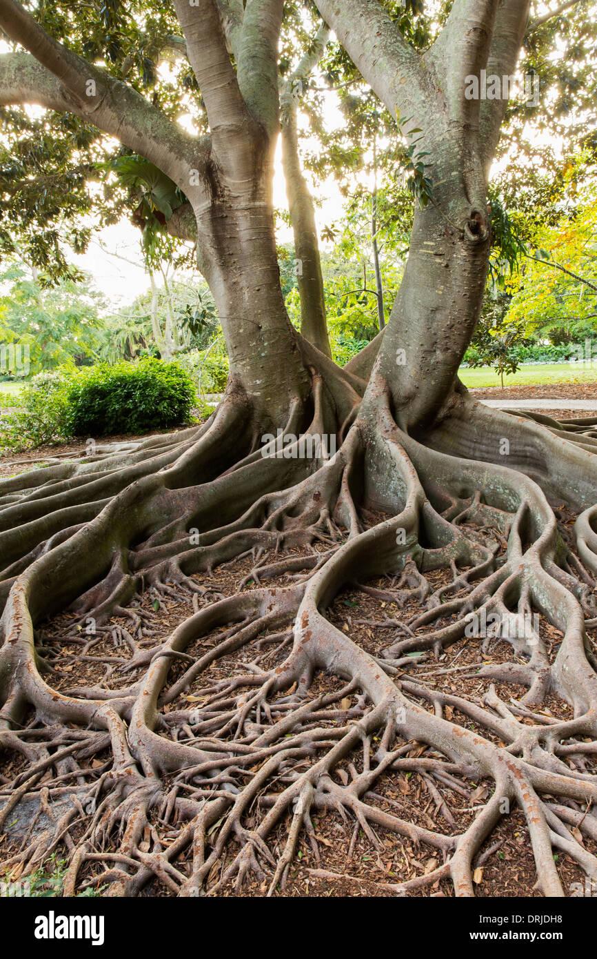 USA,Florida,Sarasota, Marie Selby Botanical Gardens. Moreton Bay Fig ...