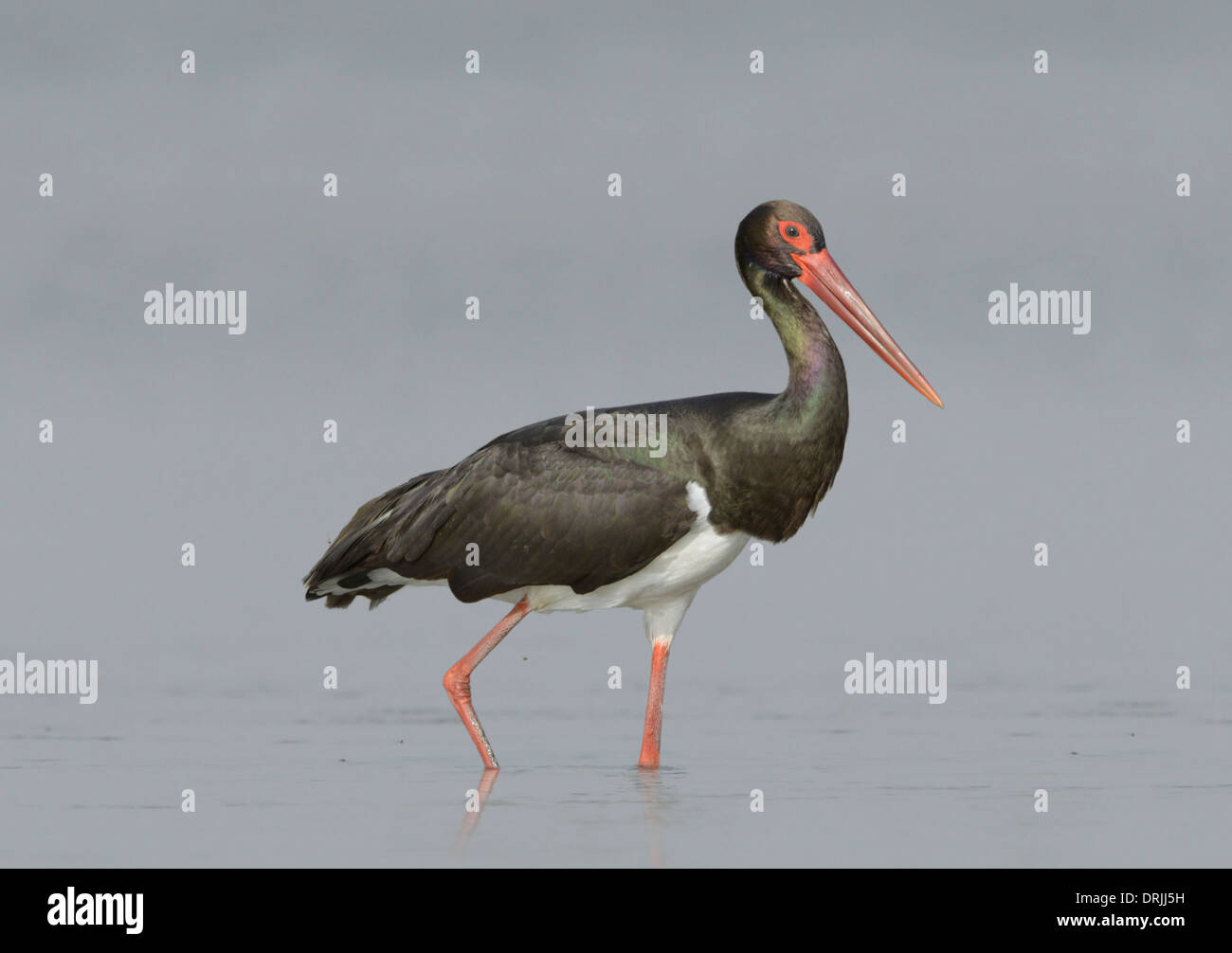 Black Stork - Ciconia nigra - Stock Image