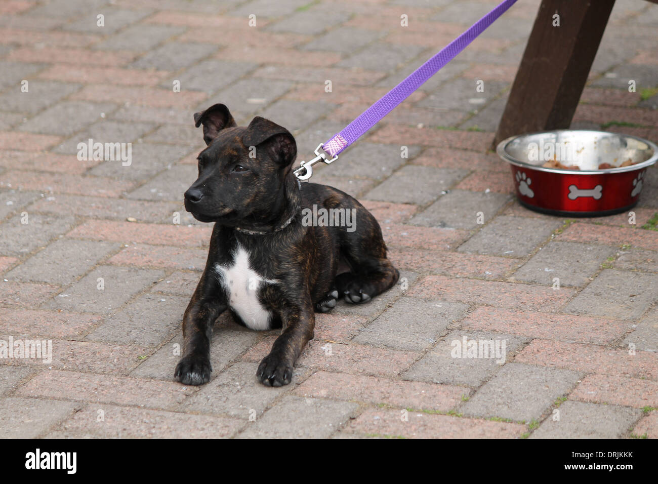 Dark brindle Staffie, Staffordshire Bull Terrier puppy laid on the ground on guard - Stock Image