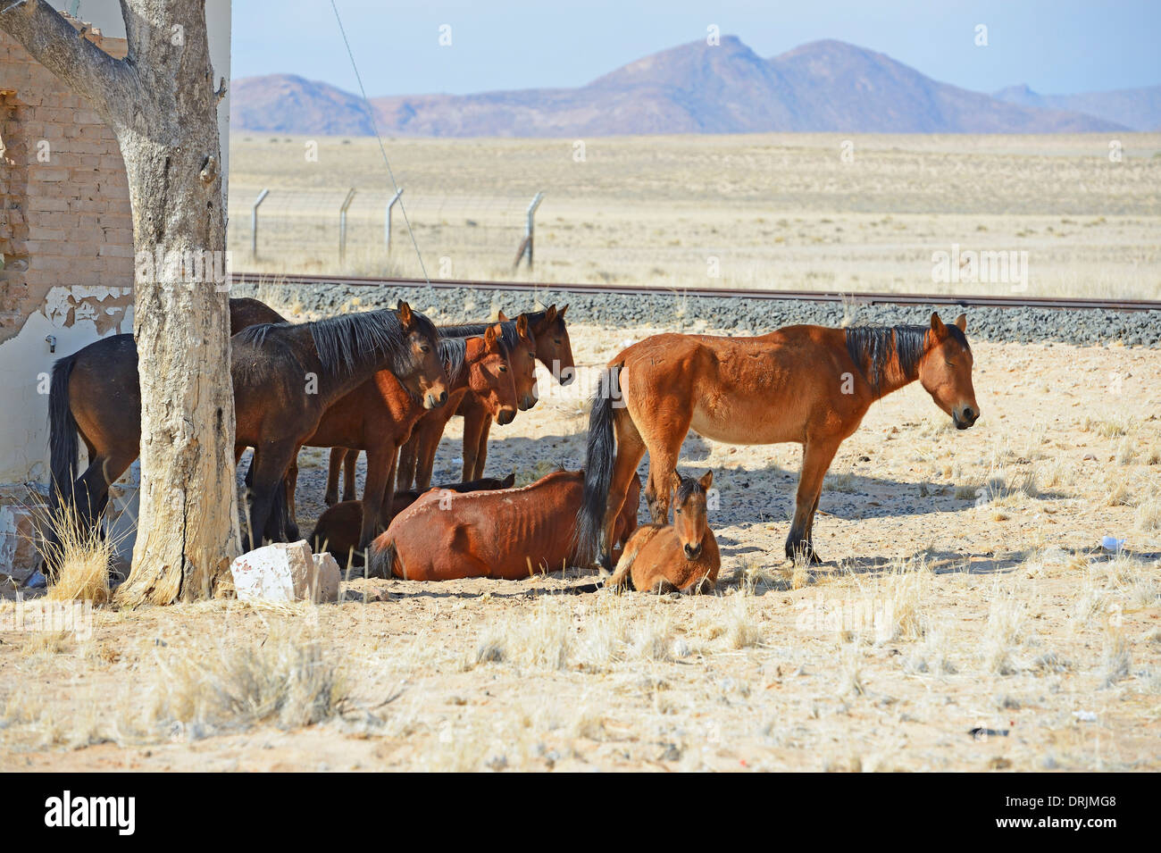 Wild horses to dilapidated road court building of Garub with From, Namibia, Africa, Wildpferde an verfallenen Bahnshofsgebaeude Stock Photo