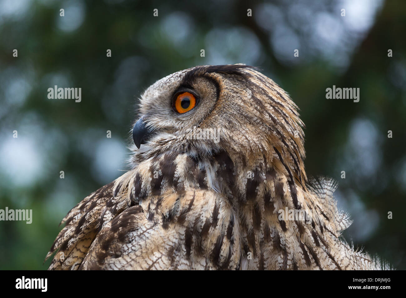 European Eagle Owl (Bubo bubo) preparing to take part in a falconry display beside Lac de Serre Ponçon in the French Alps - Stock Image