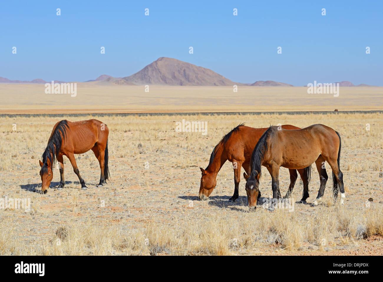 grazing wild horses in Garub with From, Namibia, Africa, grasende Wildpferde in Garub bei Aus, Afrika Stock Photo