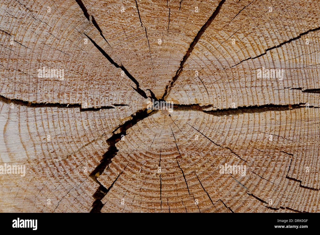 Cross section of ponderosa pine tree log showing growth rings. - Stock Image
