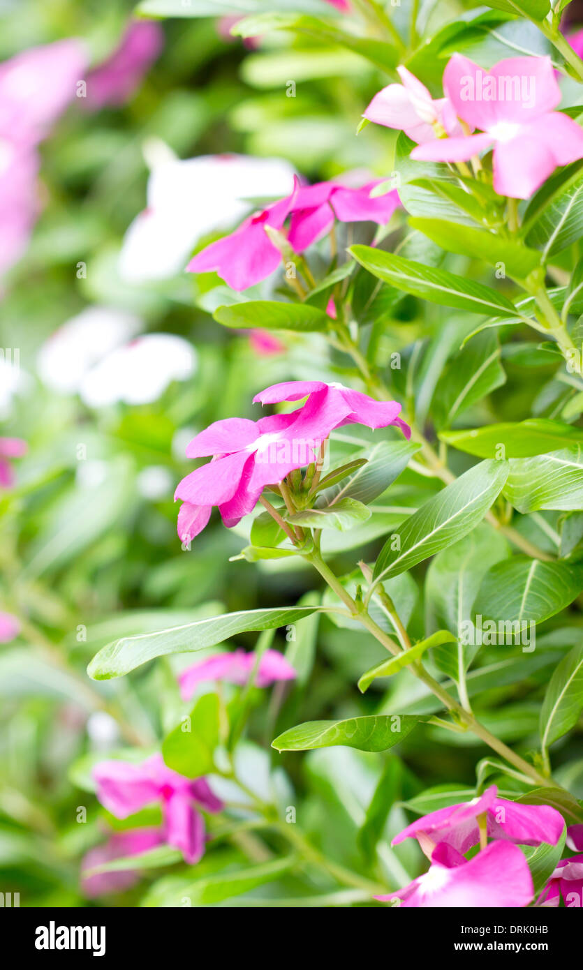 Vinca Flowers Stock Photo 66185767 Alamy