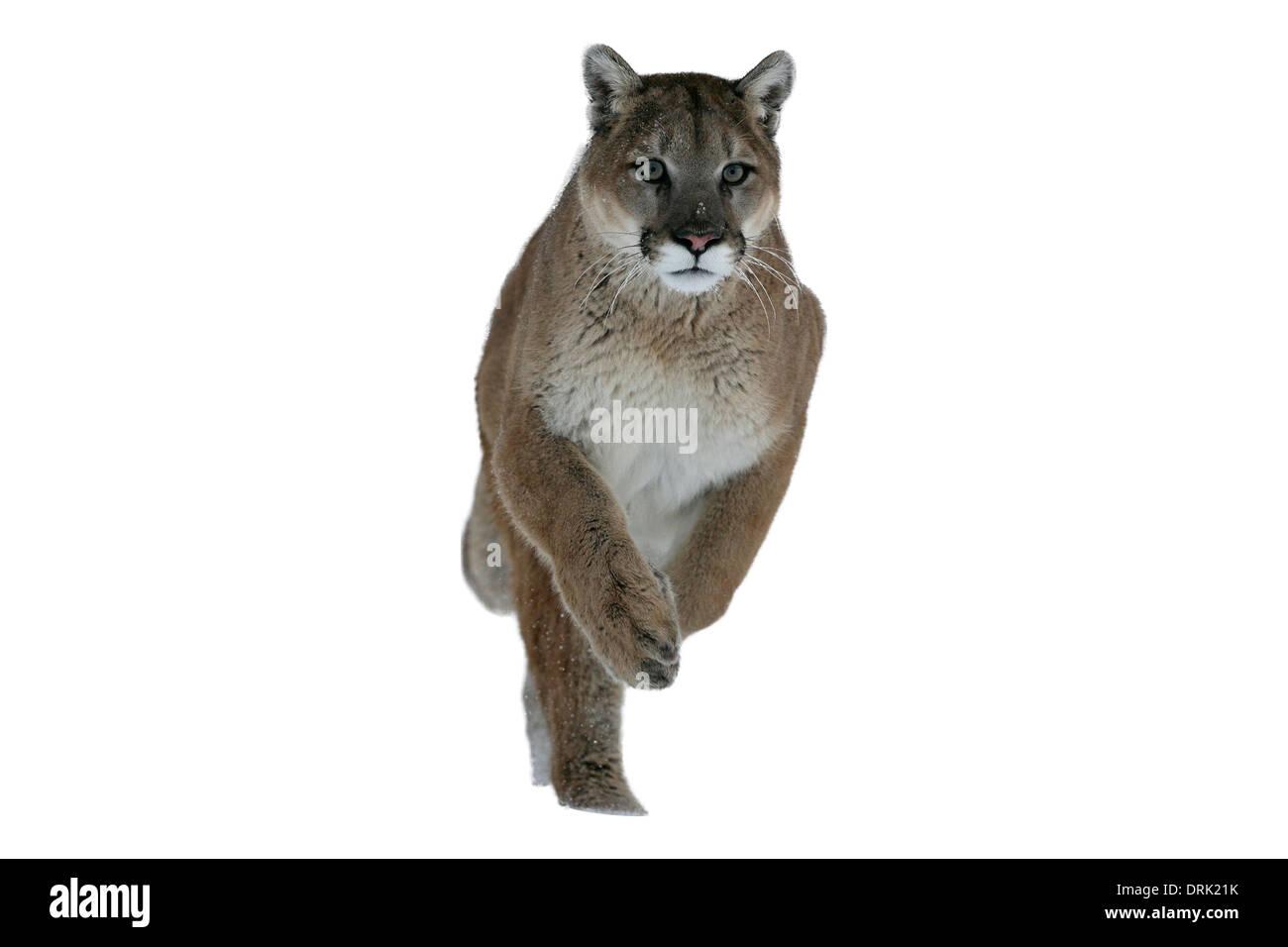 Puma or Mountain lion, Puma concolor, single cat in snow, captive - Stock Image