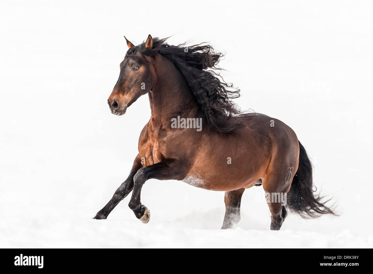 Pure Spanish Horse Andalusian Bay stallion galloping in snow Germany - Stock Image