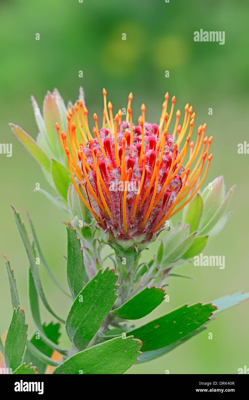 Tuffed Pincushion (Leucospermum glabrum x tottum) - Stock Image