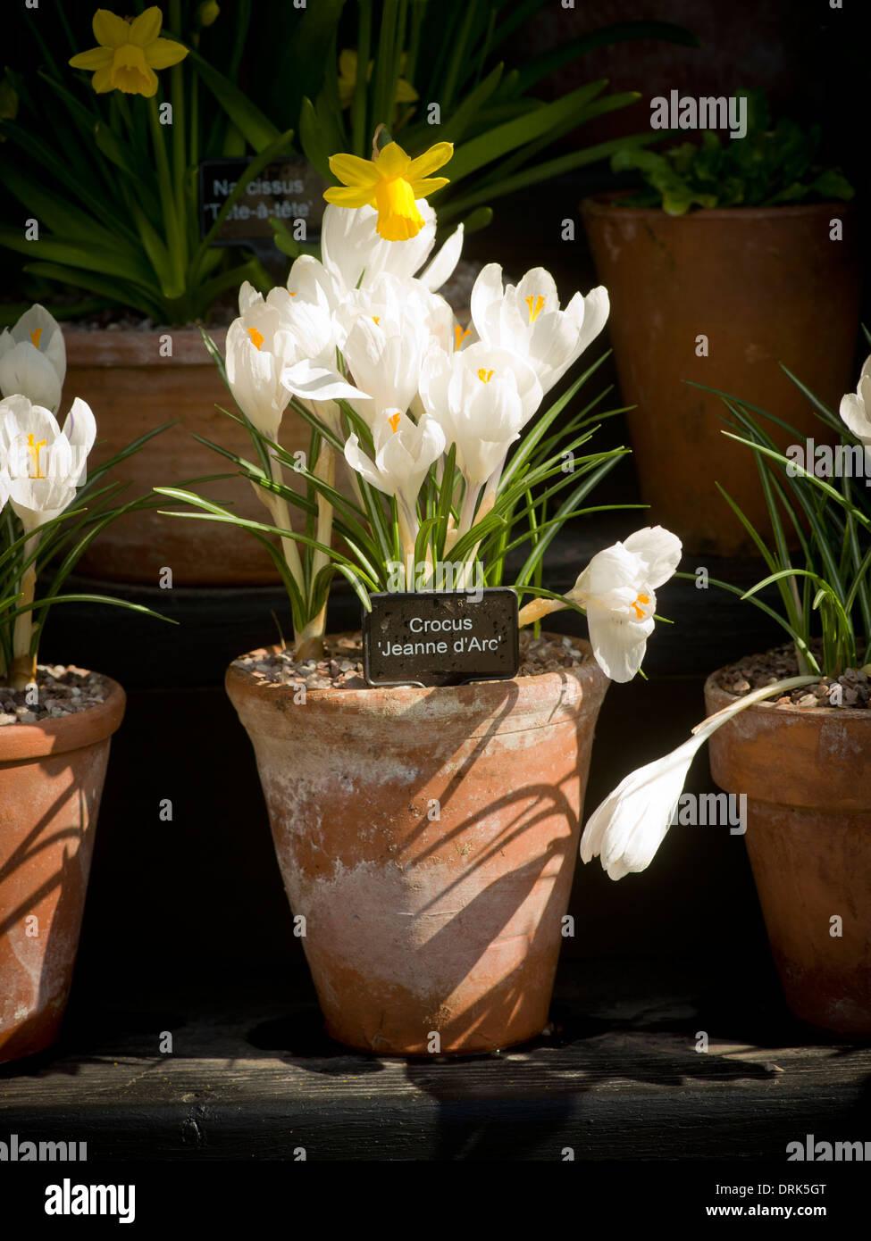Crocus 'Jeanne d'Arc' in terracotta plant pot. - Stock Image