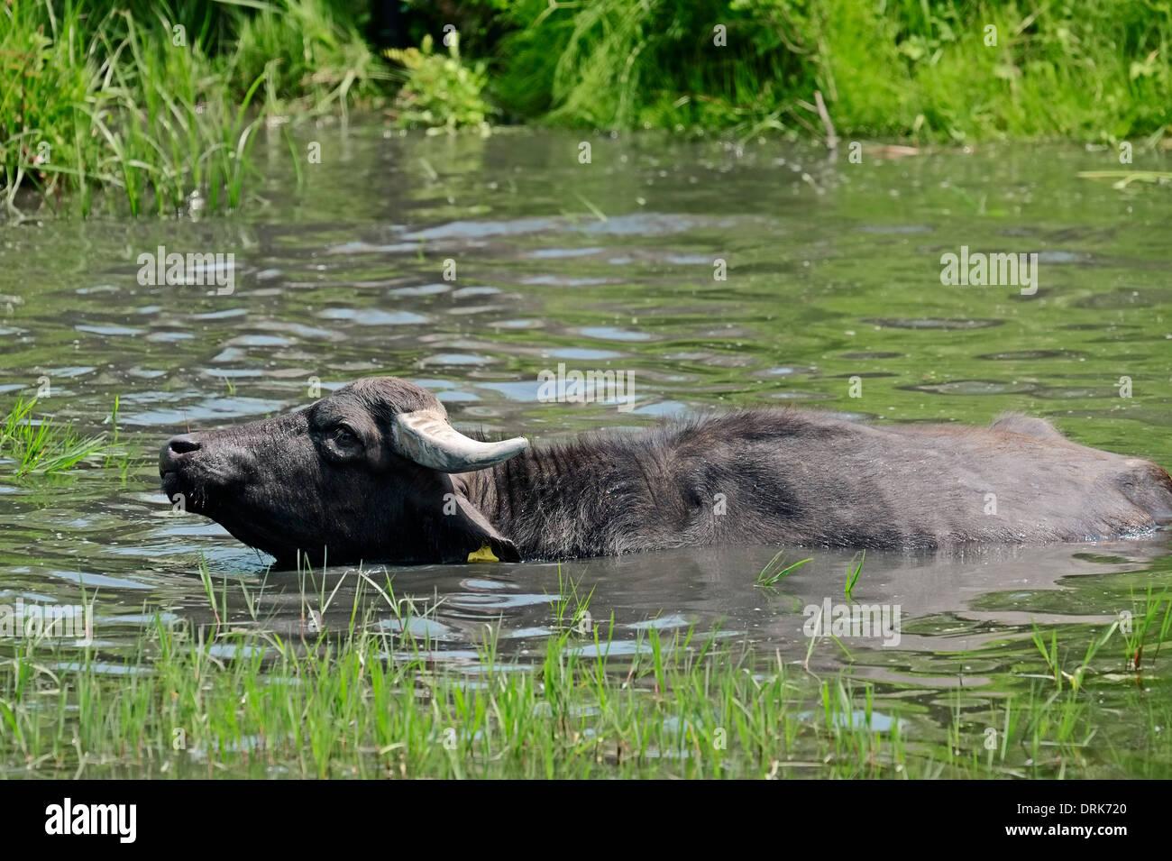 Asian Water Buffalo or Carabao (Bos arnee, Bubalus arnee) in waterhole, Greece, Europe - Stock Image